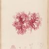 Plate LXXI: Rhodophyllis bifida, Ag.