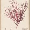 Plate XCII: Halymenia ligulata, Ag.