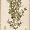 Plate CXXX: Halidrys siliquosa, Lyngb.