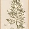 Plate CXXXII: Cystoseira granulata Ag.