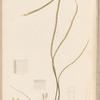Plate CLII: Chorda filum, Lamour