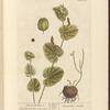 Round birthwort