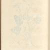 Burnet saxifrage