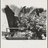 Migrants from Delaware picking berries in southern New Jersey.