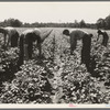 Potato field, where the farm members of this resettled group have the second best crop in the three leading potato counties, according to estimates of the New Jersey Agricultural State College. Hightstown, New Jersey