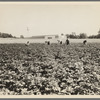 Hightstown, New Jersey. Factory and field, both to be run on cooperative basis by resettled families at Hightstown. The men are working in the potato field, one of the crops on the farm of four hundred and fourteen acres. ...