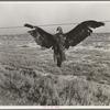 A very blue eagle. Along California highway