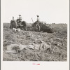Mechanical potato digger near Shafter, California