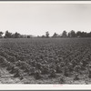 Check row planted cotton. Touchberry Plantation, Issaquena County, Mississippi. This method, long used in corn in order to permit cross cultivation, eliminates as much as two thirds of the usual hand hoeing costs.