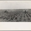 Tractors cultivating cotton. Twenty-two tractors have replaced 130 tenant families on the Aldridge Plantation, near Leland, Mississippi.