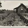 House of ex-tenant farmer now on relief. Ellis County, Texas