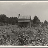 Sharecropper's cabin, cotton and corn, near Jackson, Mississippi.