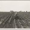 Tractor in cotton. Near Corsicana, Texas