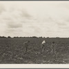 Day laborers hoeing cotton. Many tenant farmers become day laborers on mechanized farms. Near Corsicana, Texas.
