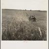 Tractor in cotton field. Navarro Co. Texas.