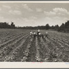Delta cooperative farm. Hillhouse, Mississippi.