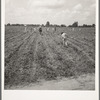 A crew of 200 hoers were brought to the Aldridge Plantation to hoe cotton for one dollar a day. Many of these are ex-tenant farmers. [Near Leland, Miss.]
