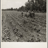 Cultivating cotton on the Delta cooperative farm. Hillhouse, Mississippi.