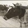 Ox team used to haul pulpwood. Mississippi