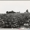 Cotton field and plantation house. Macon County, Georgia.