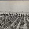 Cultivating cotton at Lake Dick project, Arkansas