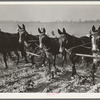 Mules used in cotton cultivation, Lake Dick, Ark. June 1938