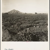 Cantaloupe field, desert agriculture on the Mexican border. Large-scale corporation farming. Imperial Valley, California.