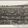 Field of young corn near Mescalero Apache Reservation. New Mexico.