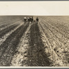Fighting sand. Childress County, Texas Panhandle. Cultivating weedless cotton fields in Great Plains to break crust and prevent blowing sand from cutting young cotton plants