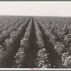 The Black Wax area of Texas is the outstanding cotton producing section of the western cotton belt. Near Georgetown, Texas