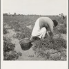 Mexican grandmother of migrant family picking tomatoes in commercial field. Santa Clara County, California.