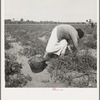 Mexican grandmother of migrant family picking tomatoes in commercial field. Santa Clara County, California