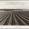 Near San Juan Bautista, California. Large-scale pea fields.