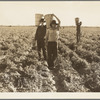 Pea pickers. End of the day. Near Calipatria. California.
