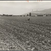 Spreckels sugar factory and sugar beet field with Mexican and Filipino workers thinning sugar beets. Monterey County, California.