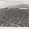 Spreckels sugar factory and sugar beet field with Mexican and Filipino workers thinning sugar beets. Monterey County, California