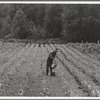 Western Washington, Grays Harbor County, northeast of Elma. Hand irrigation on small rented subsistence farm. Family have been on place for one year.