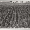 Hop yard on ranch of M. Rivard in French-Canadian colony, three weeks before picking. Yakima Valley, Moxee Valley district, Washington.