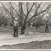 Harvesting on almond ranch, local day labor. Near Walnut Creek, Contra Costa County, California.