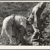 Couple digging their sweet potatoes in the fall. Irrigon, Morrow County, Oregon. General caption 59.