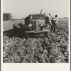 Loading truck in sugar beet field. Average wage of field worker: two dollars and fifty cents per day and dinner and supper during topping. Near Ontario, Malheur County, Oregon