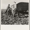 Loading truck in sugar beet field. Average wage of field worker: two dollars and fifty cents per day and dinner and supper during topping. Near Ontario, Malheur County, Oregon.