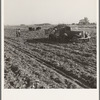 View of sugar beet field with crew loading truck for Nyssa factory. Average yield of beets in excess of sixteen tons per acre in this region. Near Ontario, Malheur County, Oregon.