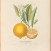 Oranger à longues feuilles, Pl. 21
