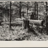 Old white pine logs and stumps left in the woods by logging operations. Near Gibbs City, Michigan.