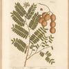 The tamarind tree
