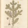 The male fir, or silver fir