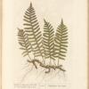 Wall-fern or polypody of the oak