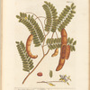 East India tamarind