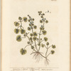 Ground ivy or alehoof